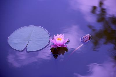 pink lotus flower on water